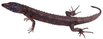 Echinosaura palmeri
