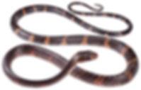 Chironius grandisquamis