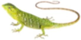 Polychrus marmoratus