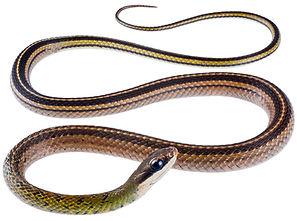 Dendrophidion bivittatus
