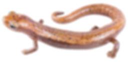 Bolitoglossa lozanoi