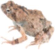Engystomops pustulosus