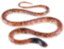 Phimophis guianensis