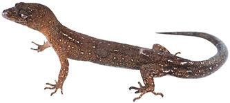 Lepidoblepharis columbianus