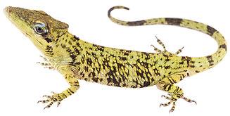 Anolis heterodermus