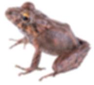 Pristimantis ixalus