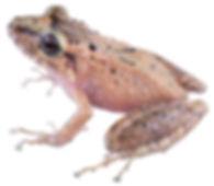 Pristimantis spilogaster