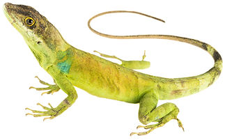 Anolis apollinaris