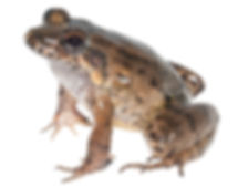 Leptodactylus colombiensis