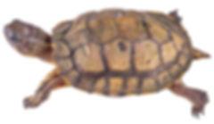 Rhinoclemmys annulata