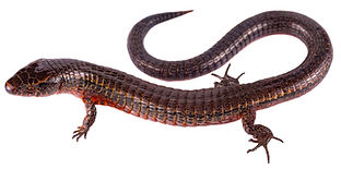 Pychoglossus bicolor