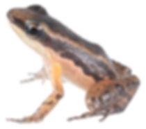 Allobates niputidea