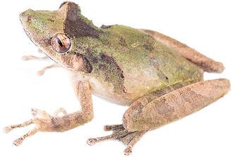 Scinax rostratus