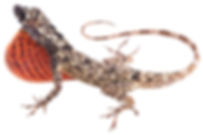 Anolis sulcifrons