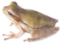 Smilisca phaeota