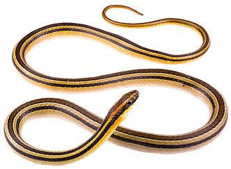 Lygophis lineatus