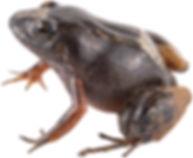 Hypodactylus adercus