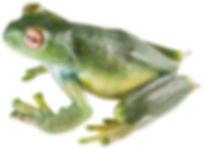 Hyloscirtus denticulentus