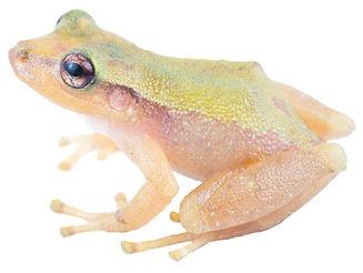 Tachiramantis prolixodiscus