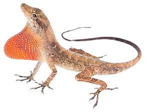 Anolis tropidogaster