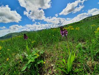 Le meraviglie floreali del Monferrato : le orchidee