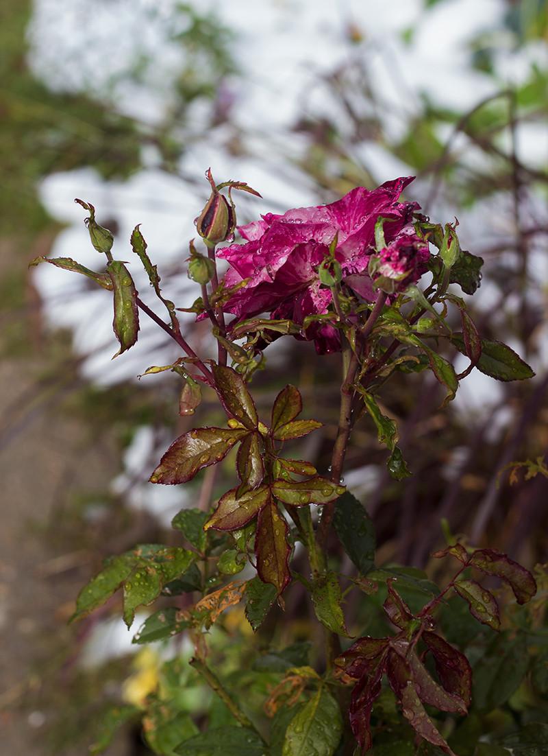 Winter Rose | Meghan Stark