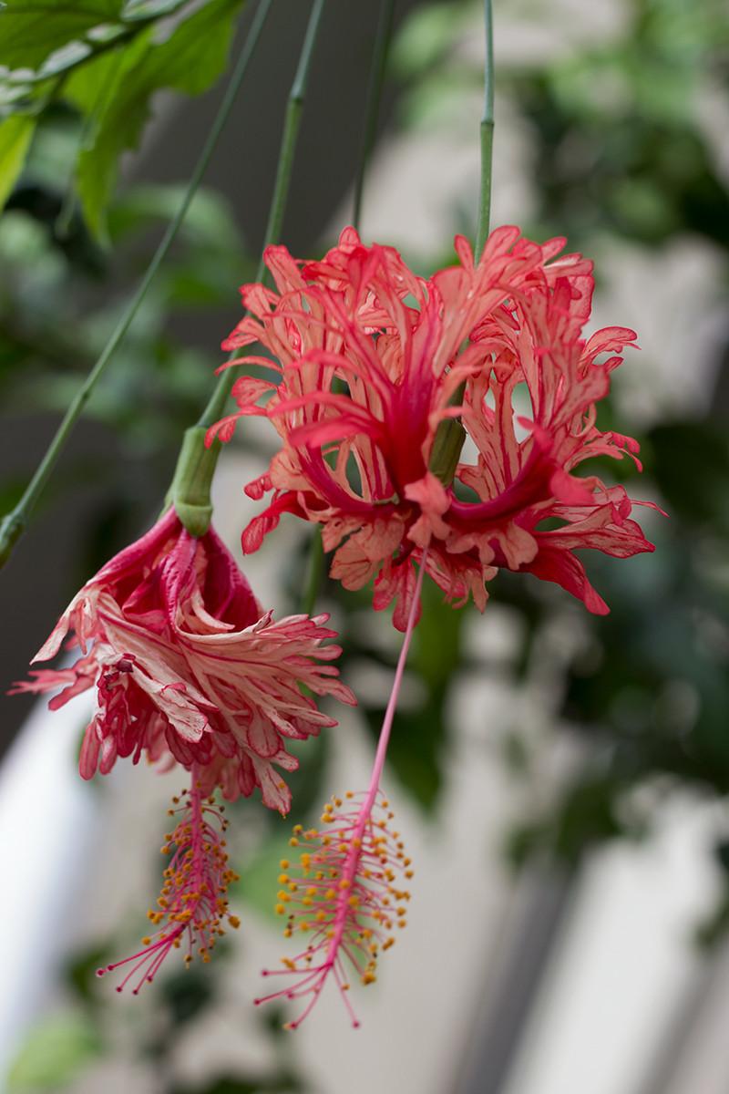 Hanging Hibiscus Denver Botanic Gardens