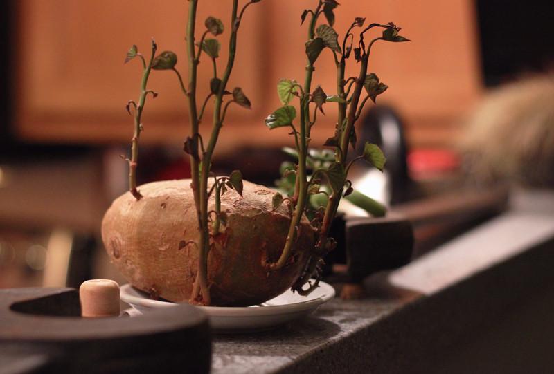 Potato Growth | Meghan Stark