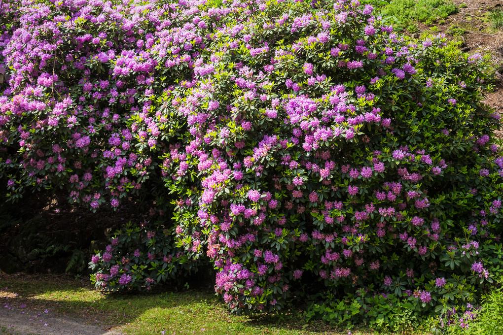Rhododendron hinter dem Waldhäusel