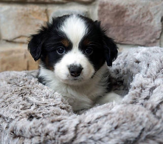 Miniature American Shepherd Puppy (mini aussie puppy) Ohio