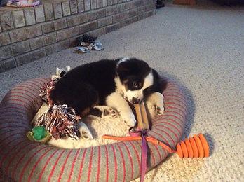 Mini American Shepherd Puppy (mini ausssie puppy
