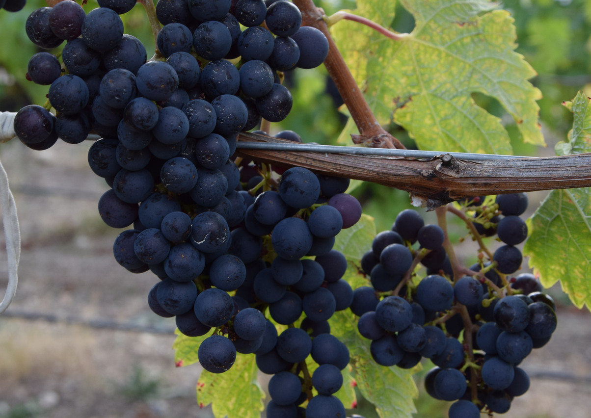 Grapes have darkened