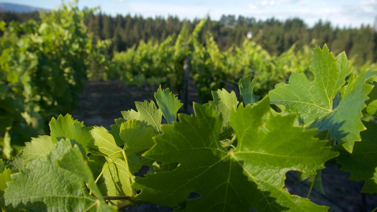 Grow little vines!