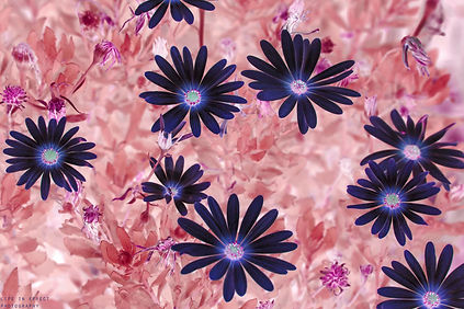 Photgraph of Deep Blue & Dark Pink Olearia (Daisy Bush)