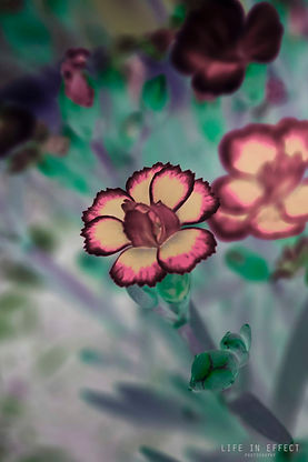 Photograph of Dark Pink & Dijon Carnation (Dianthus)