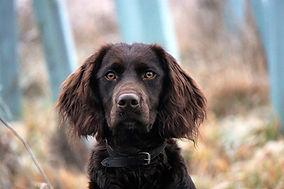 german-quail-dog-4748569_1920.jpg