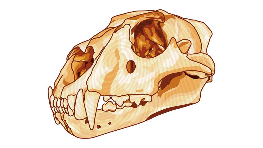 Löwenschädel