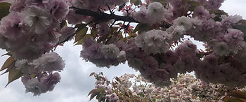 Cherry Blossoms by Jay April 2020.JPG