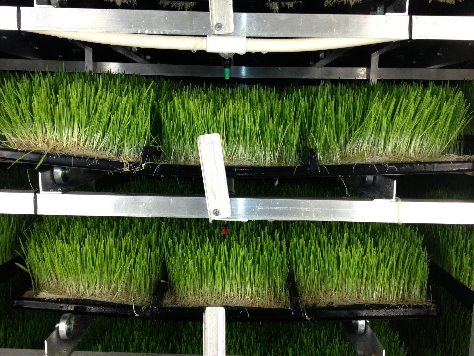 Barley grass mats AFS 172.jpg
