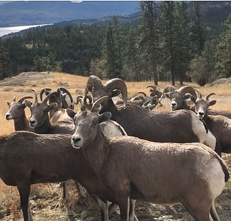 Mtn sheep.jpg