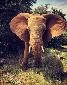 Samburu elephant.jpg