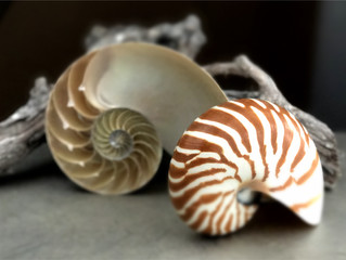 NAUTILUS | symbol of life's unfolding mysteries