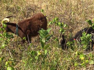 goats_IMG_6920.jpg