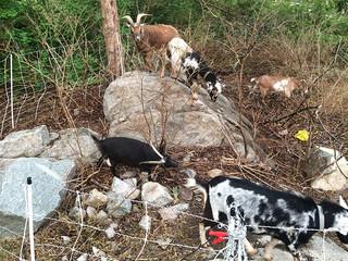goats_IMG_0803.jpg