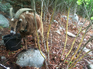 goats_IMG_1142.jpg