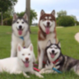 4 happy huskys.jpg