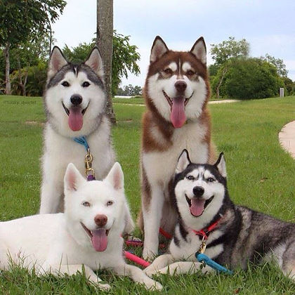 4 happy huskys.jpg