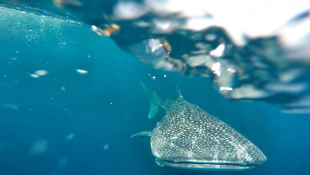 whale shark alone.jpg