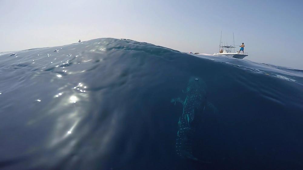 Whale Shark and boats.jpg