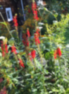 Cardinal Plant in Garden for website.jpg